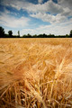 Wheat Field in Summer - PhotoDune Item for Sale