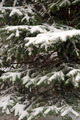 Snow covered spruce tree - PhotoDune Item for Sale