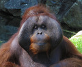 Orangutan  - PhotoDune Item for Sale