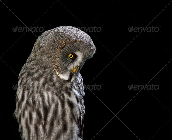Isolated Owl - Stock Photo - Images