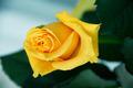 Yellow Rose - PhotoDune Item for Sale