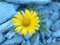 Yellow Flower in Rock Ground - PhotoDune Item for Sale