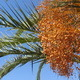Date Palm Close-up - VideoHive Item for Sale