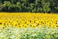Detail of a field with many sunflowers in sunlight with shallow - PhotoDune Item for Sale