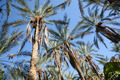 Dates palms forest - PhotoDune Item for Sale