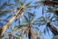 Oasis of dates palms - PhotoDune Item for Sale