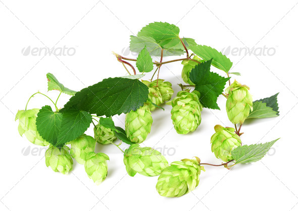 Blossoming hop on white background - Stock Photo - Images