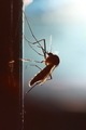 Mosquito silhouetted - PhotoDune Item for Sale