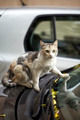 Cat on the car - PhotoDune Item for Sale