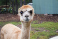 Alpaca - PhotoDune Item for Sale