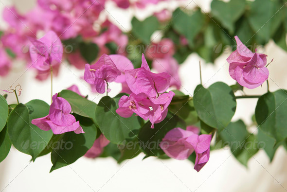 Bougainvillea - Stock Photo - Images