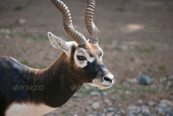 Blackbuck - Stock Photo - Images