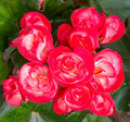 Closeup of red flowers in the garden - PhotoDune Item for Sale