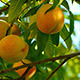 Ripe Peaches - VideoHive Item for Sale