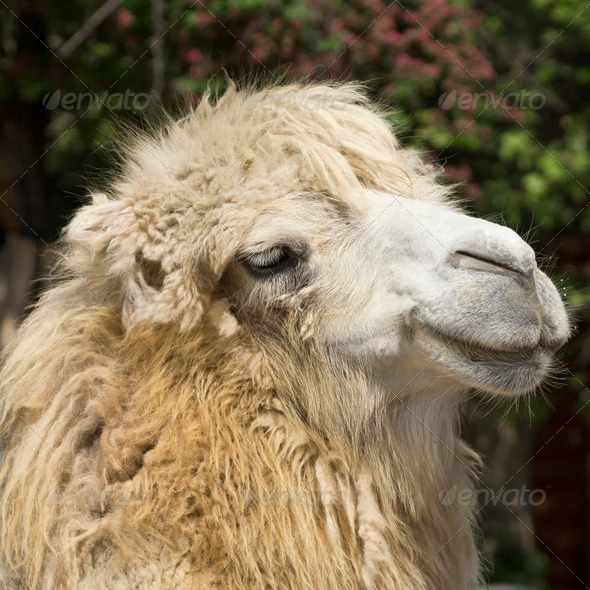 PhotoDune camel portrait 3653906