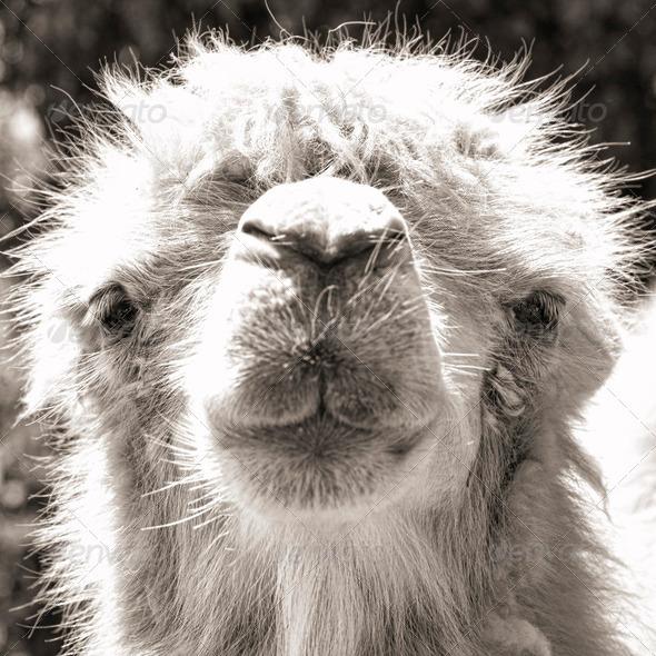 PhotoDune camel portrait vintage sepia shot 3653912