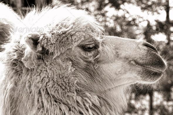 PhotoDune camel portrait vintage sepia shot 3653945