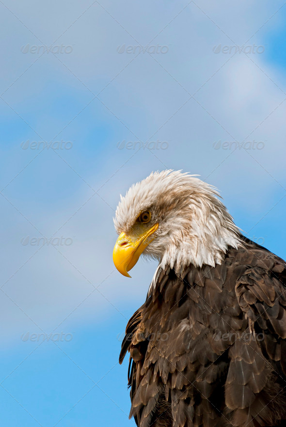 Bald Eagle - Stock Photo - Images