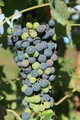 Red Wine Grapes - PhotoDune Item for Sale