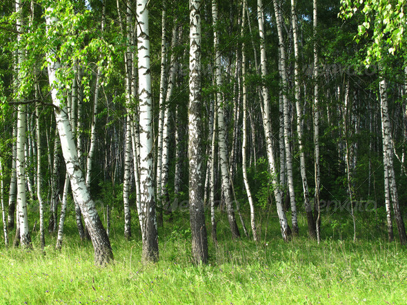 PhotoDune Birch forest 3692261