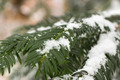 Pine Tree With Snow Close Up 01 - PhotoDune Item for Sale