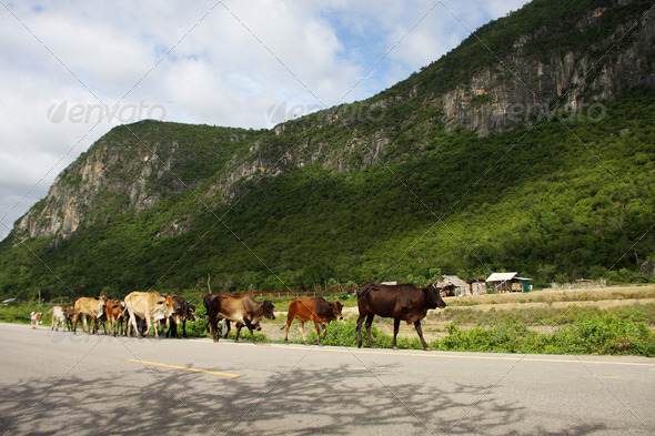 cows and mountain, Southern part of Thailand. - Stock Photo - Images
