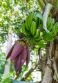 Banana blossom - PhotoDune Item for Sale