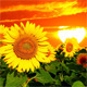 Flowering Sunflowers - VideoHive Item for Sale