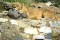 Lioness Lying On Stones - PhotoDune Item for Sale