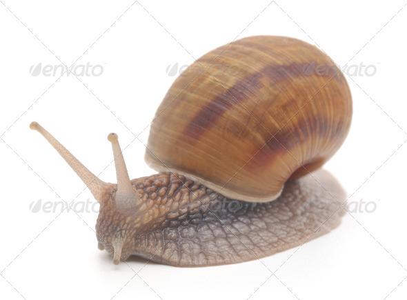 PhotoDune Garden snail 3720201