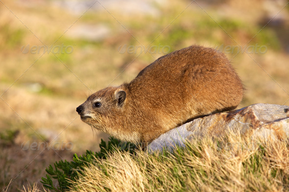 PhotoDune Cape Hyrax 3720474