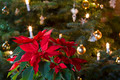Winter Rose in Front of Christmas Tree - PhotoDune Item for Sale