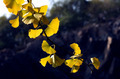 Mature Ginkgo - PhotoDune Item for Sale