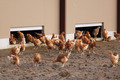 chickens outdoors - PhotoDune Item for Sale