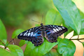 Clipper Butterfly - PhotoDune Item for Sale