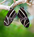 Mating Zebra Longwing Butterflies - PhotoDune Item for Sale