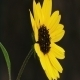 Yellow Flower Close Up - VideoHive Item for Sale