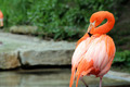 Caribbean Flamingo - PhotoDune Item for Sale