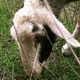 Sheep Grazes (Close Up) - VideoHive Item for Sale