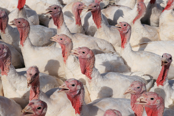 turkey flock - Stock Photo - Images