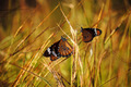 Butterflies And Grass - PhotoDune Item for Sale