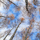Birch Trees Low Angle Real Time - VideoHive Item for Sale