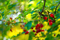 Redcurrant Berries - PhotoDune Item for Sale