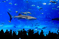 Whale Shark in the aquarium - PhotoDune Item for Sale
