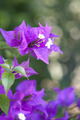 Bougainvillea - PhotoDune Item for Sale