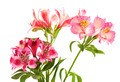Lilies (alstroemeria) on white background - PhotoDune Item for Sale
