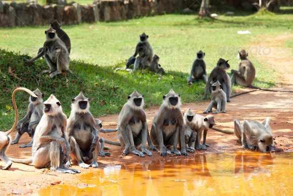 Monkey on Sri Lanka - Stock Photo - Images