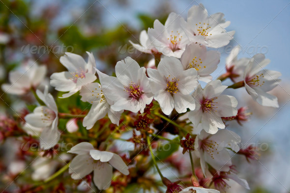 Cherry (Sakura) Blossoms - Stock Photo - Images