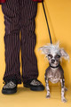 Chinese Crested dog on leash with man - PhotoDune Item for Sale
