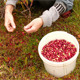 Cranberry Harvest - VideoHive Item for Sale